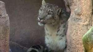 El Zoológico de Chapultepec recibe al leopardo de las nieves Video: