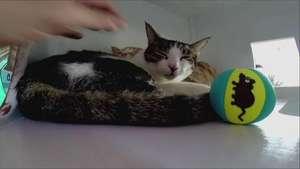 La moda de los cafés de gatos llega a EU Video: