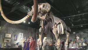 Subastan esqueleto de mamut gigante Video: