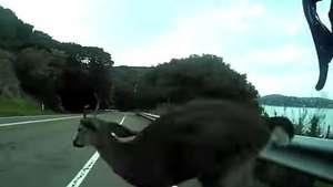 Ciclista sufre con ciervo suelto en la carretera  Video: