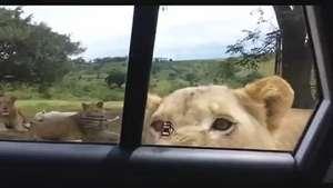 Del terror: Estaban de safari y una leona se acercó mucho Video: