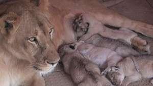 Leona mascota en Pakistán da luz a 5 cachorros Video: