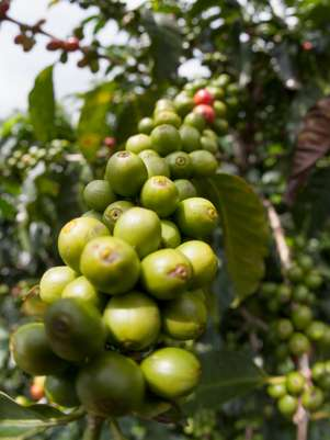 Café verde una excelente alternativa para bajar de peso. Foto: Getty Images