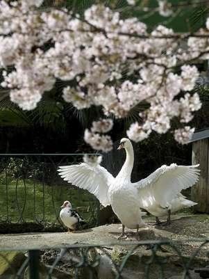 Un cisne seca sus alas al sol en la plaza de Guipúzcoa de San Sebastián que presenta un aspecto primaveral. Foto: EFE