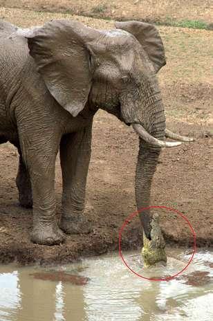 http://p1.trrsf.com/image/fget/cf/308/464/images.terra.com/2013/11/14/circulo-ataques-elefante-crocodilo-grosby.jpg