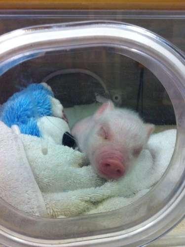 Mientras estuvo en el al hospital veterinario el cerdito durmió en una incubadora.