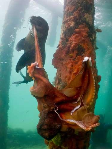 Los buzos registraronen Australia la lucha entre una foca y un pulpo. El mamífero fue mejor en la disputa.
