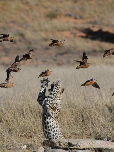 Matt Prophet registró en la frontera entre Botswana y África del Sur el momento en que un leopardo muestra toda su agilidad.