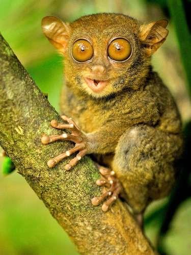 El tarsio y uno de los primates más pequeños del mundo y pueden encontrarse en Asia.