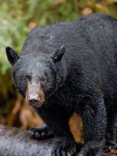 Un visitante de Whistler, la estación de montaña cerca de Vancouver, en el oeste de Canadá, se relajaba en un jacuzzi exterior en el patio de una casa cuando un oso negro le golpeó por detrás la cabeza. Tras lanzar un grito, el hombre buscó refugio en la casa. La policía respondió inmediatamente a su llamada y tuvo tiempo de ver el oso a cien metros, cuando volvía al bosque. La zona fue cercada y el animal fue eliminado. El hombre, que fue lastimado en la zona del cuero cabelludo, recibió atención médica.