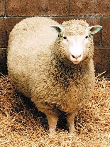 Hoy hace 10 años murió Dolly, la primer oveja clonada en el mundo. En la actualidad este ejemplar está expuesto disecado en una vitrina de vidrio en el Royal Museum de Edimburgo. El nacimiento de la oveja clonada desató en todo el mundo una discusión sobre la ética en la ciencia. Es que los investigadores encabezados por Ian Wilmut, del Instituto Roslin, cerca de Edimburgo, lograron obtener una copia exacta de un mamífero.