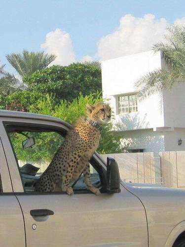 El 13 de julio, un guepardo asoma por la ventana de la misma camioneta.