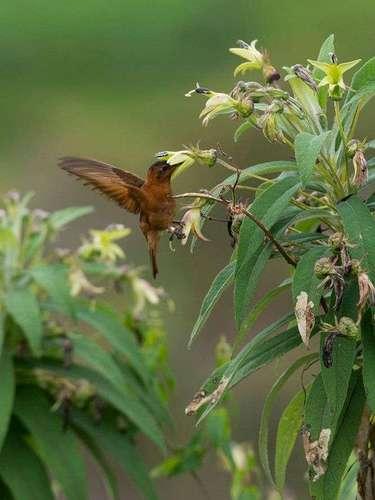 Desde el 12 hasta el 20 de este mes, se realiza en el Perú el World Birding Rally en el que participan cuatros equipos de Estados Unidos (2), Sudáfrica y el Reino Unido. Se trata de una competencia en busca de especies de aves que habitan en cuatro regiones de la zona noramazónica del país. En la imagen, un colibrí paramur.