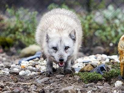"""La Sociedad Protectora de Animales subrayó hoy que los ataques de zorros a personas """"son muy poco frecuentes"""". Foto: Getty Images"""