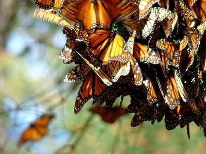 Contempla el vuelo de las mariposas monarca desde su santuario. Foto: Secretaría de Turismo de Michoacán