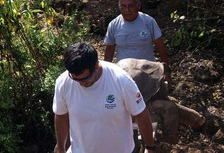 """En esta foto distribuida por la Dirección del Parque Nacional Galápagos, el cuerpo de la tortuga terrestre gigante de las Islas Galápagos, conocida popularmente como el """"Solitario George"""" es transportado en una camilla el domingo 24 de junio de 2012. El centenario macho murió el domingo.  Foto: DPNG / AP"""