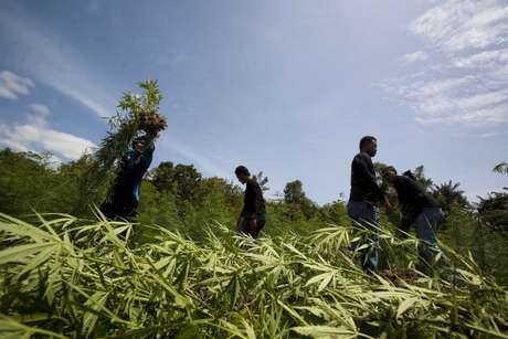 Plantaciones de marihuana en Ohio pertenecerían a los cárteles mexicanos. Así, evitarían pasar la droga por la frontera. Foto: GETTY IMAGES