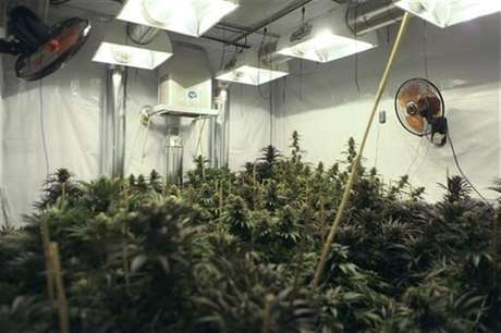 A marijuana plant is seen as officers of Baja California's State Preventive Police (PEP) search for more plants near Hongo in the municipality of Tecate in Baja California, in this August 29, 2012 file photo. Foto: Jorge Duenes / Reuters