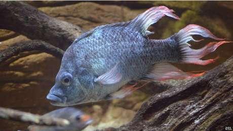 En el Zoo de Londres describen a estos peces como inusuales en su comportamiento y maravillosamente feos. Foto: BBCMundo.com