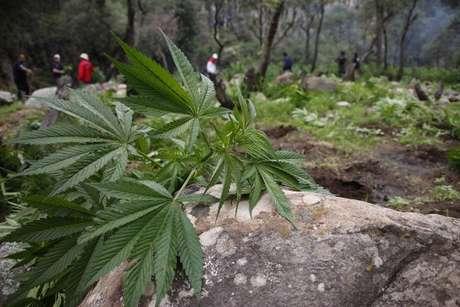 México permite actualmente la tenencia de hasta cinco gramos de marihuana para consumo propio y establece delitos penales para cualquier cantidad superior. Foto: AFP