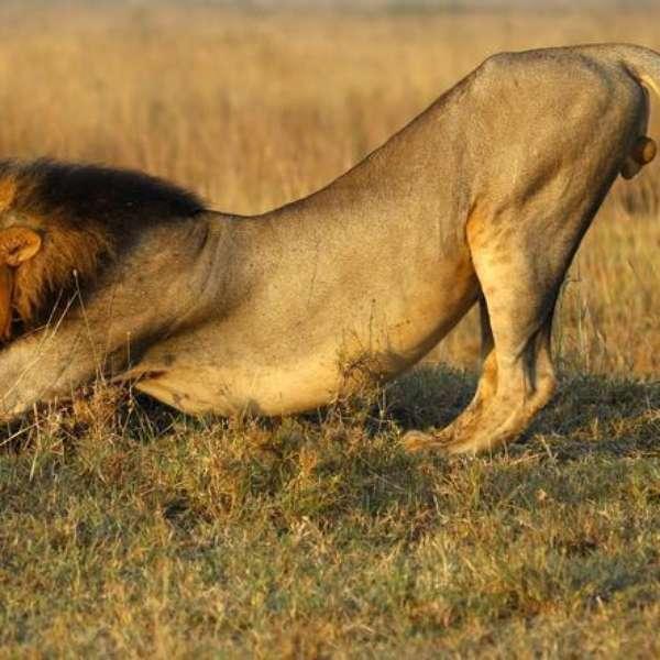 el leon esta en peligro de extincion: